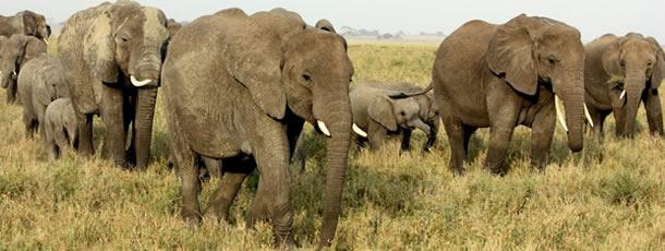 elephants_walk