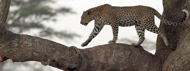 leopard_climbs